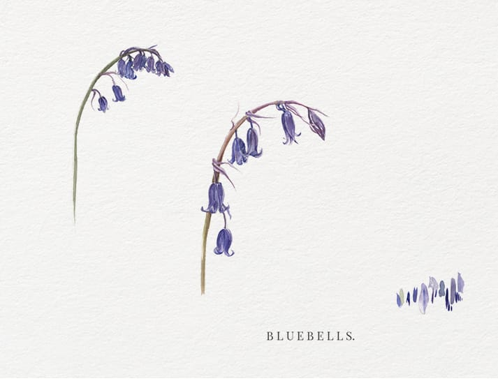 watercolour illustrations bluebells