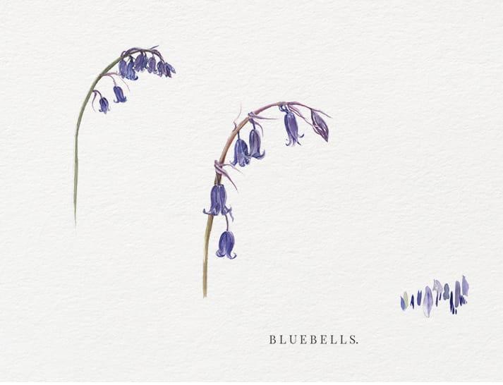 watercolour illustrations bluebells