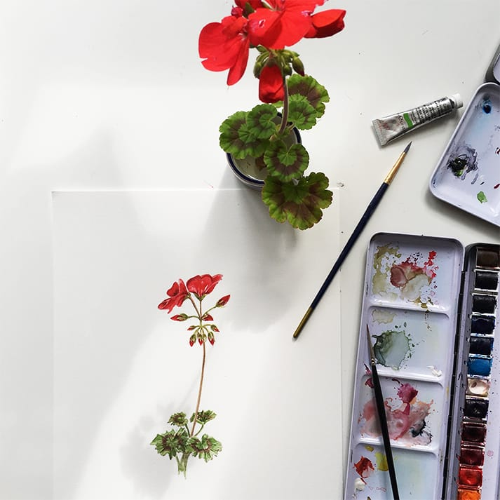 watercolour illustrations geranium