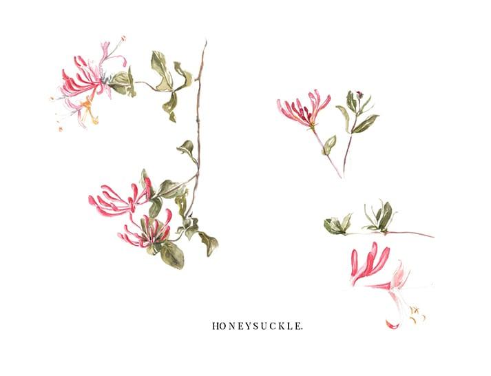 watercolour illustrations honeysuckle