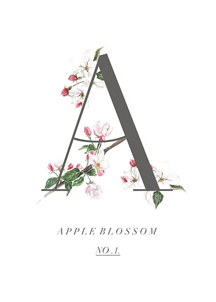 apple blossom illustration A
