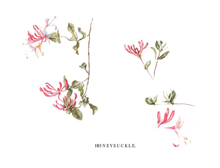 watercolour illustrations honeysuckle