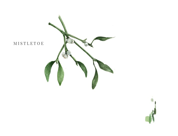 watercolour illustrations mistletoe